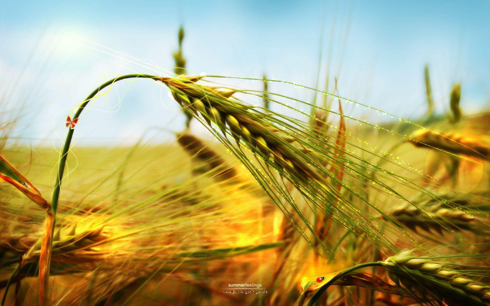 Buğday başakları-2