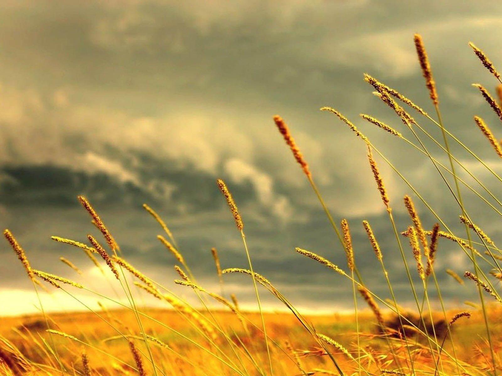 Buğday başakları-3