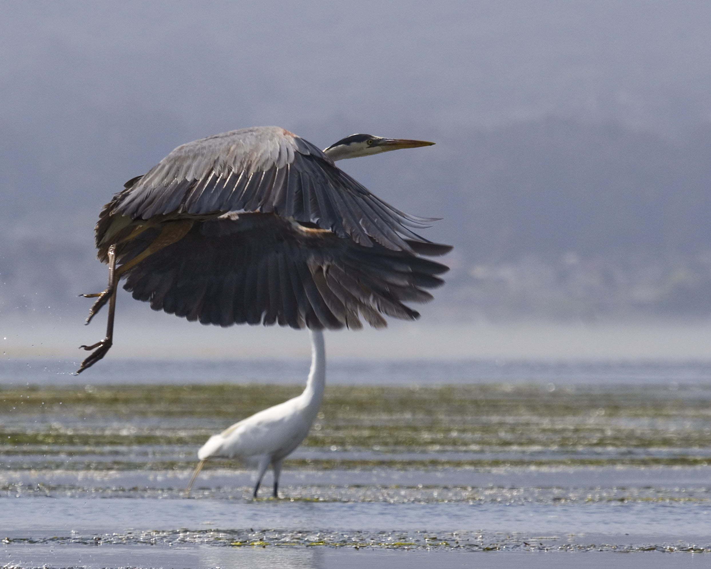 Büyük mavi balıkçıl kuşu