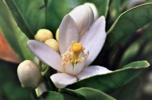 citrus sinensis - 2