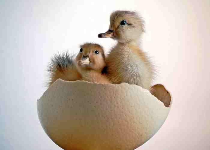 civciv çıkacak kuş çıkacak:))