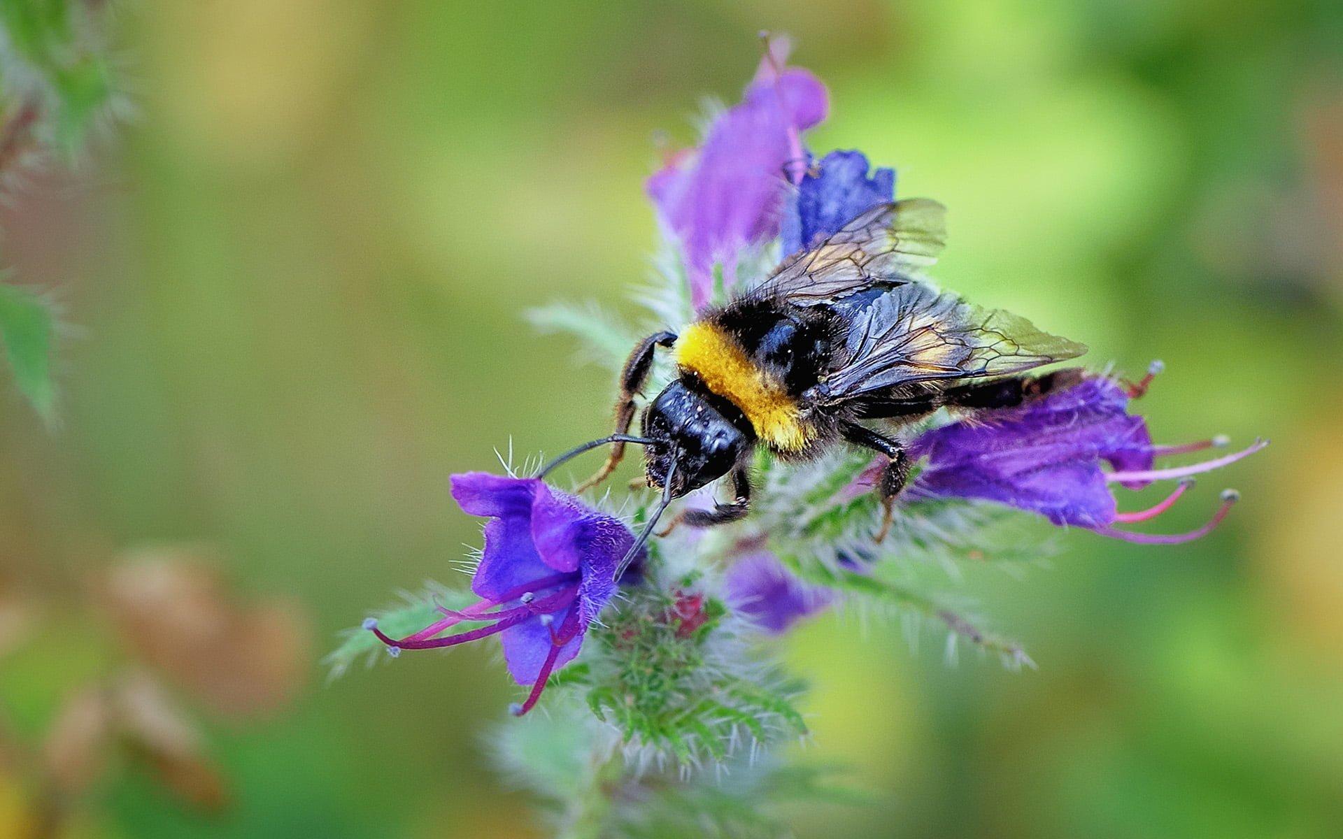 devetüyü kuyruklu yaban arısı