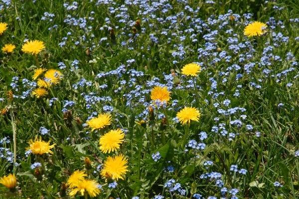 sarı çiçekler ve bilgiler
