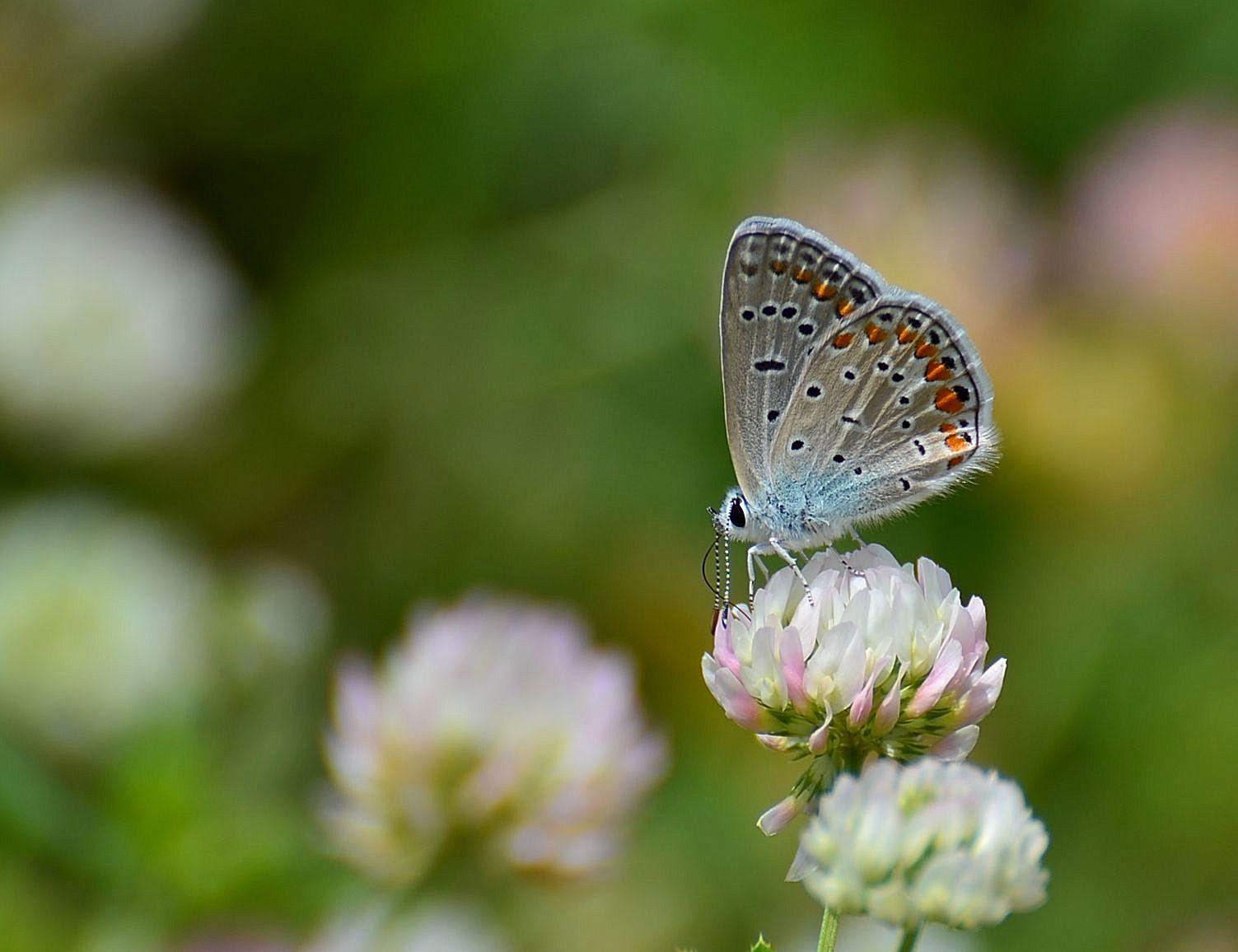 Çok Gözlü Mavi Kelebek