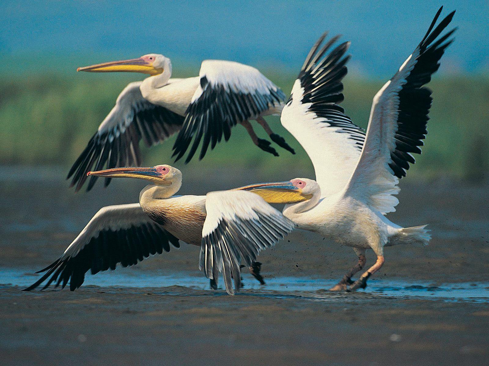 Beyaz Pelikan
