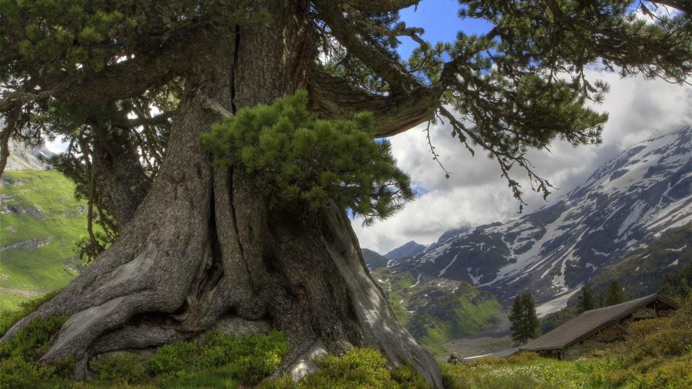 eski ağaç