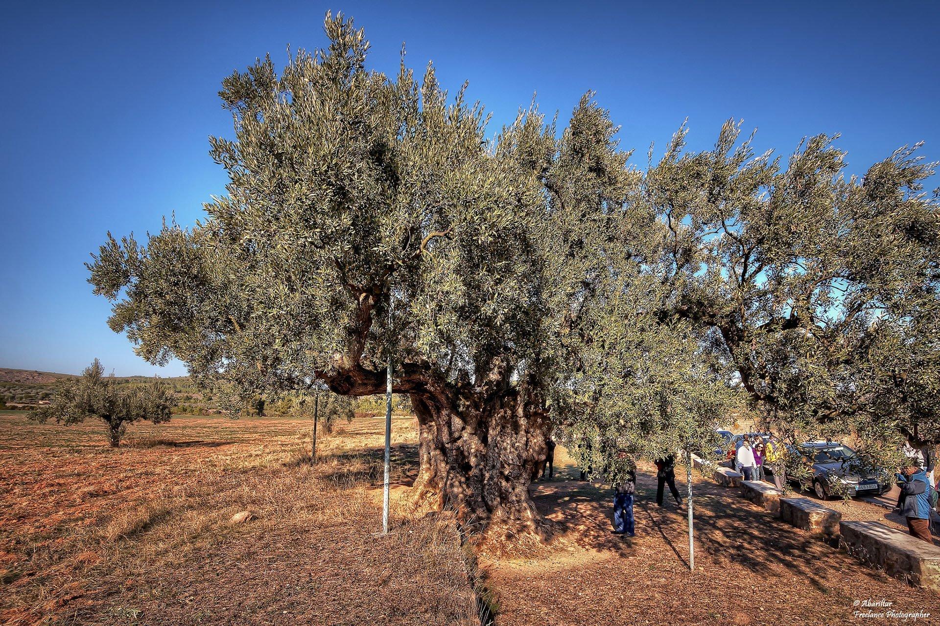 eski zeytin ağacı