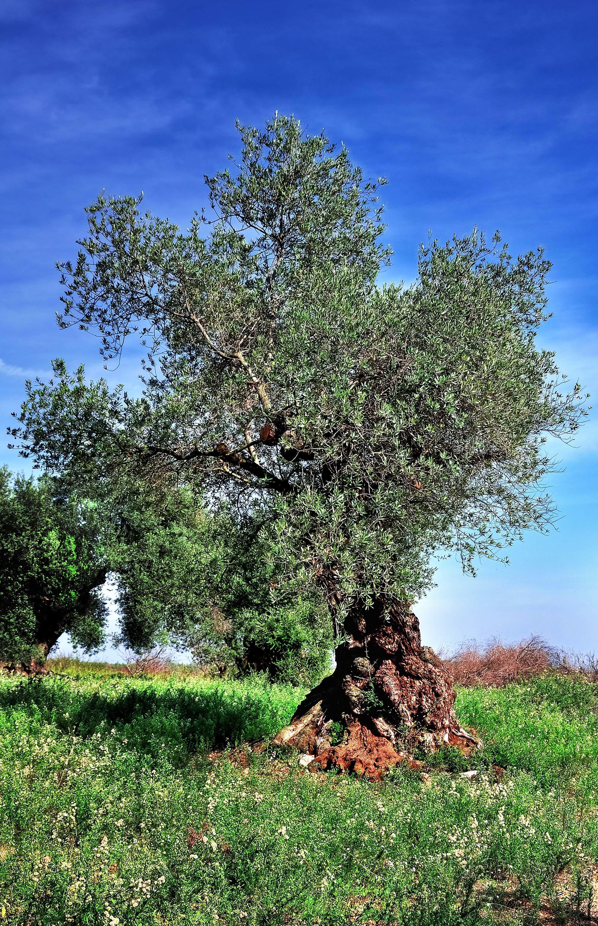 farklı zeytin ağacı