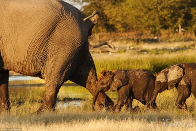 fil yavruları anne peşinde