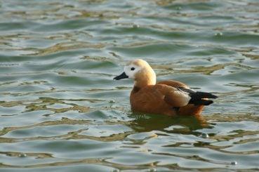 göksu park kahverengi ördek