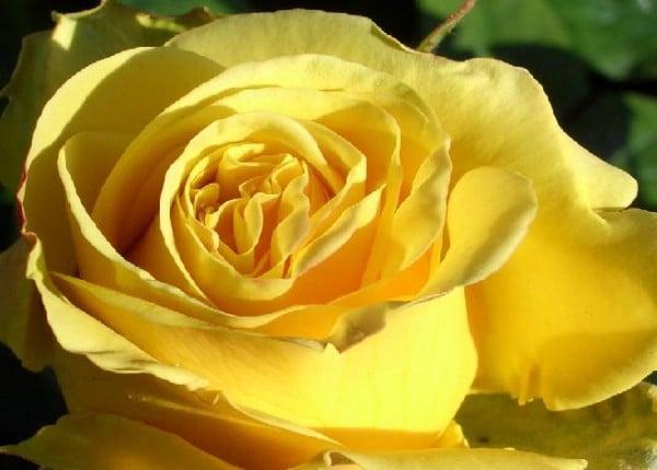 gül sarı
