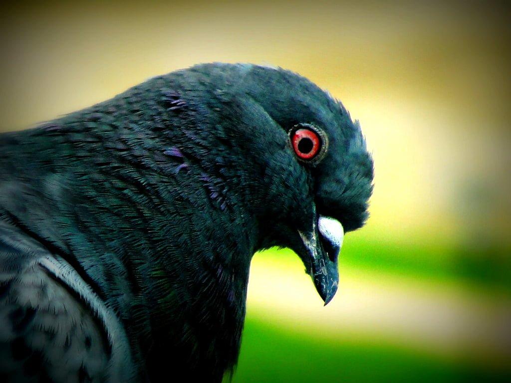 güvercin fotoğrafları
