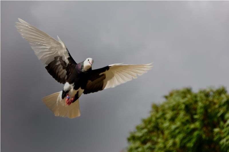 güvercin resimleri – 14