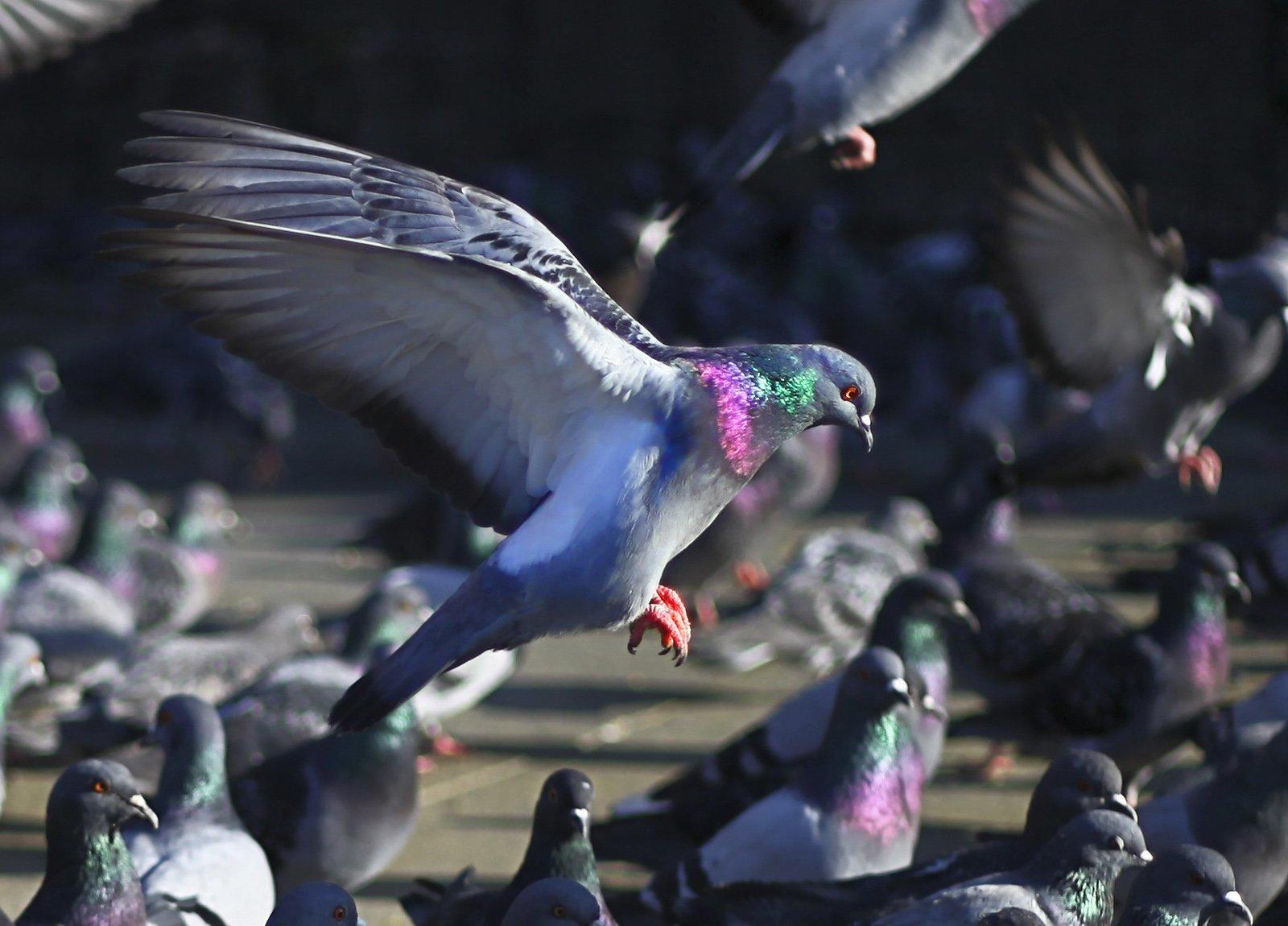 güvercin resimleri – 15