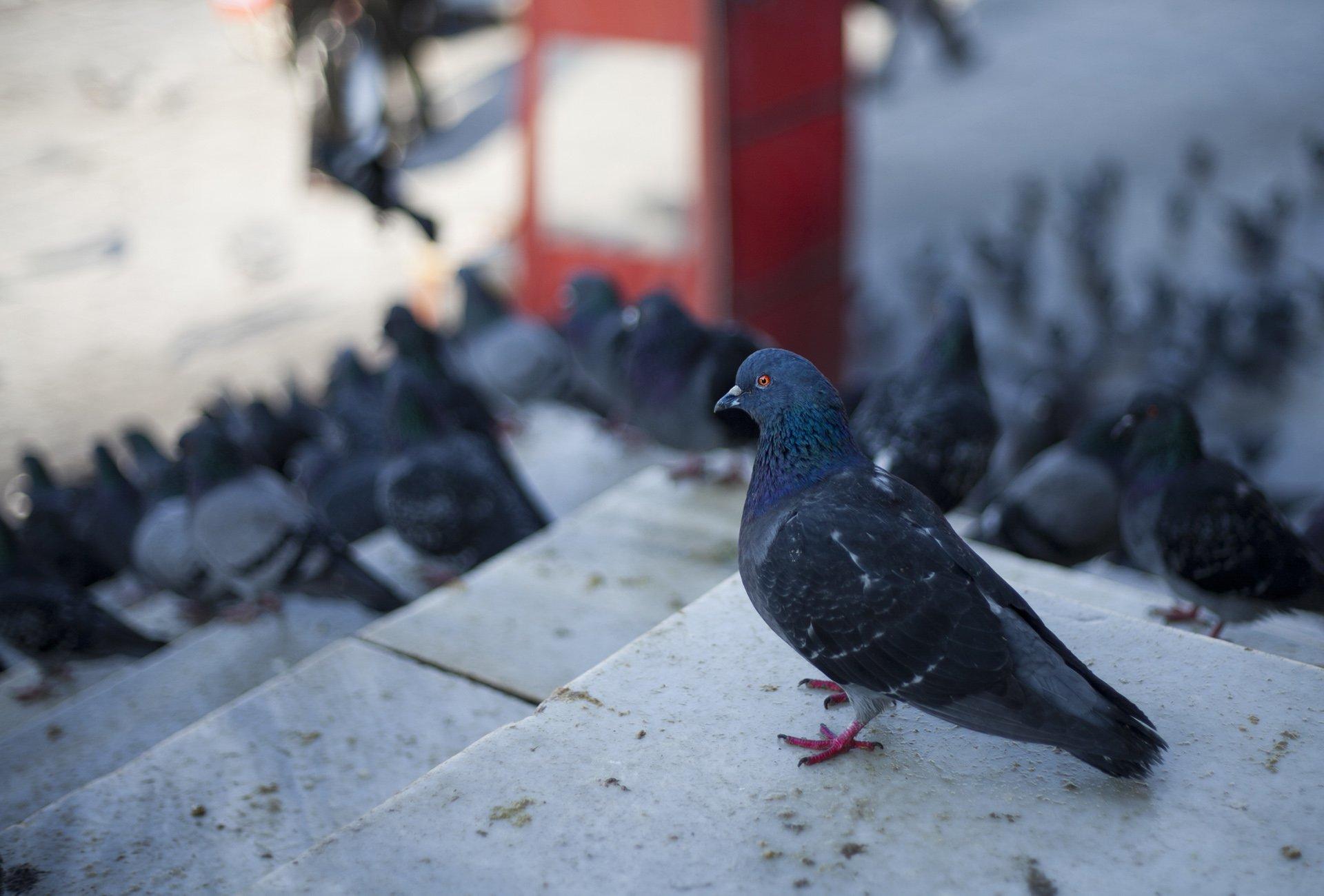 güvercin resimleri – 16
