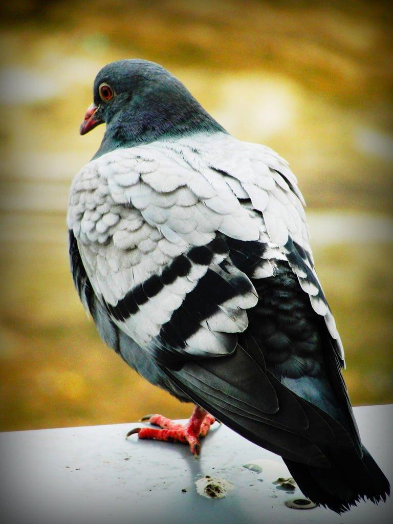 güvercin resmi