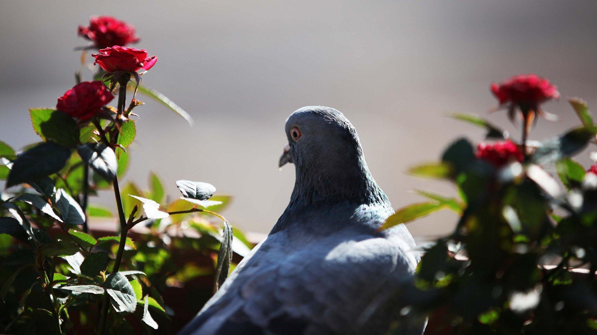 güvercin ve çiçekler
