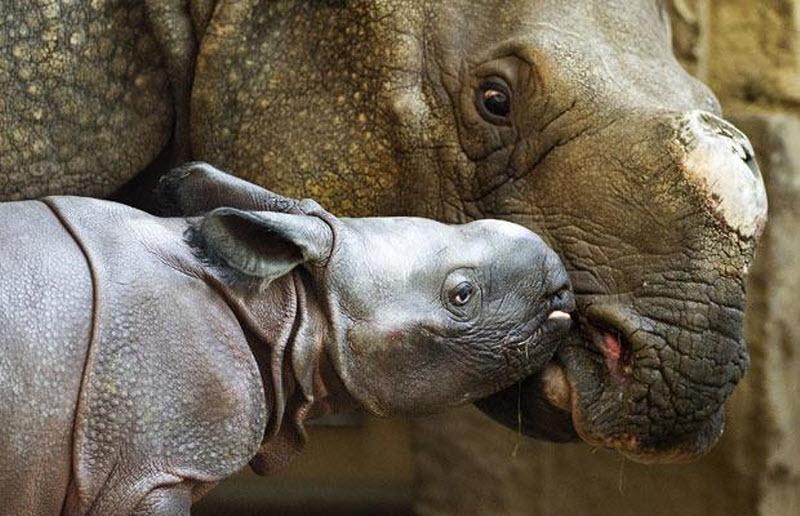 gergedan - rhino