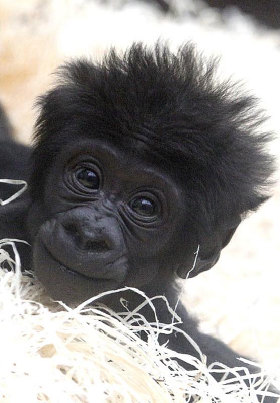 goril yavrusu