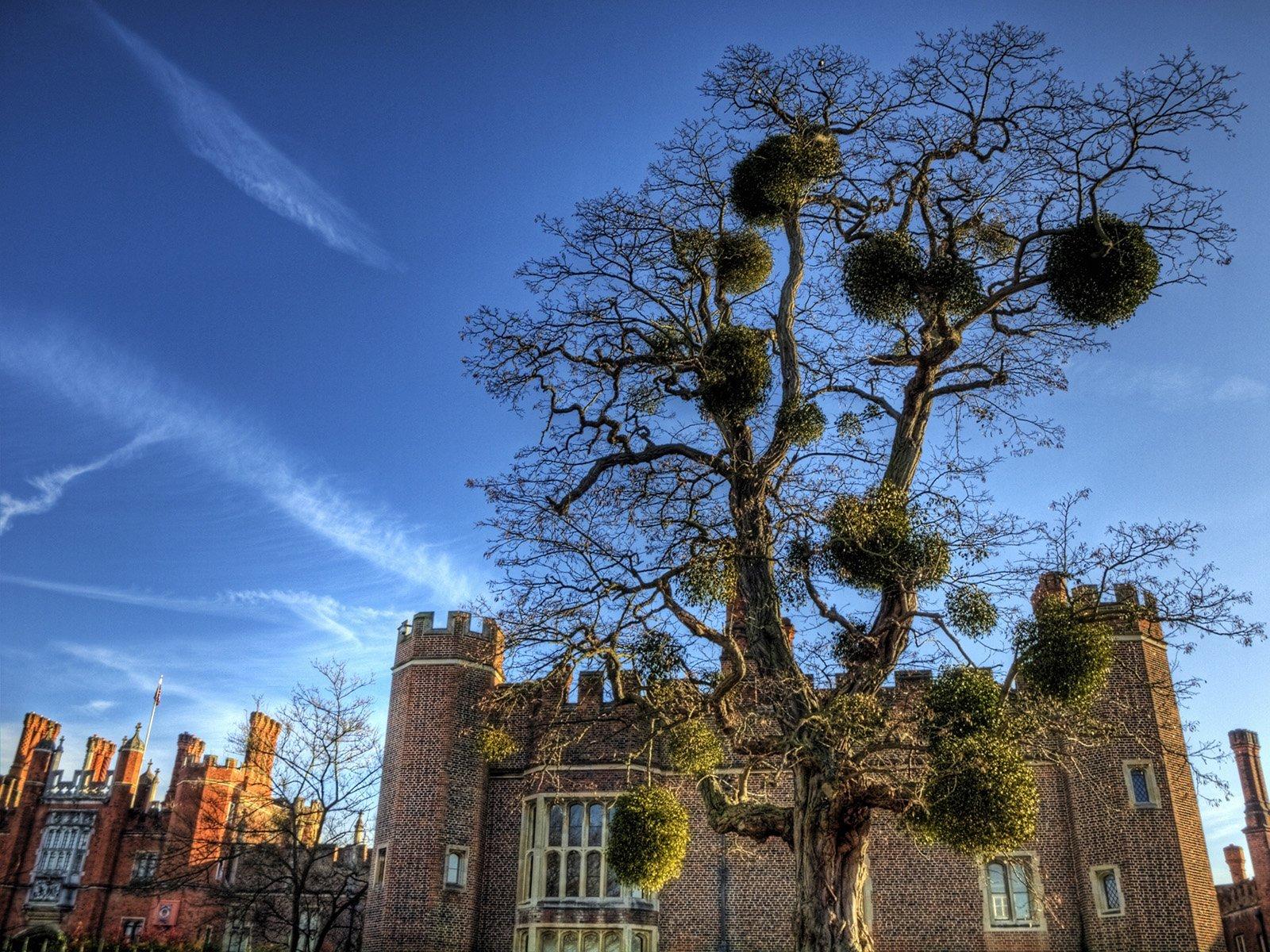 hampton mahkeme sarayı ve ağaç