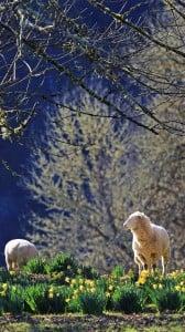 harika koyunlar 1080x1920