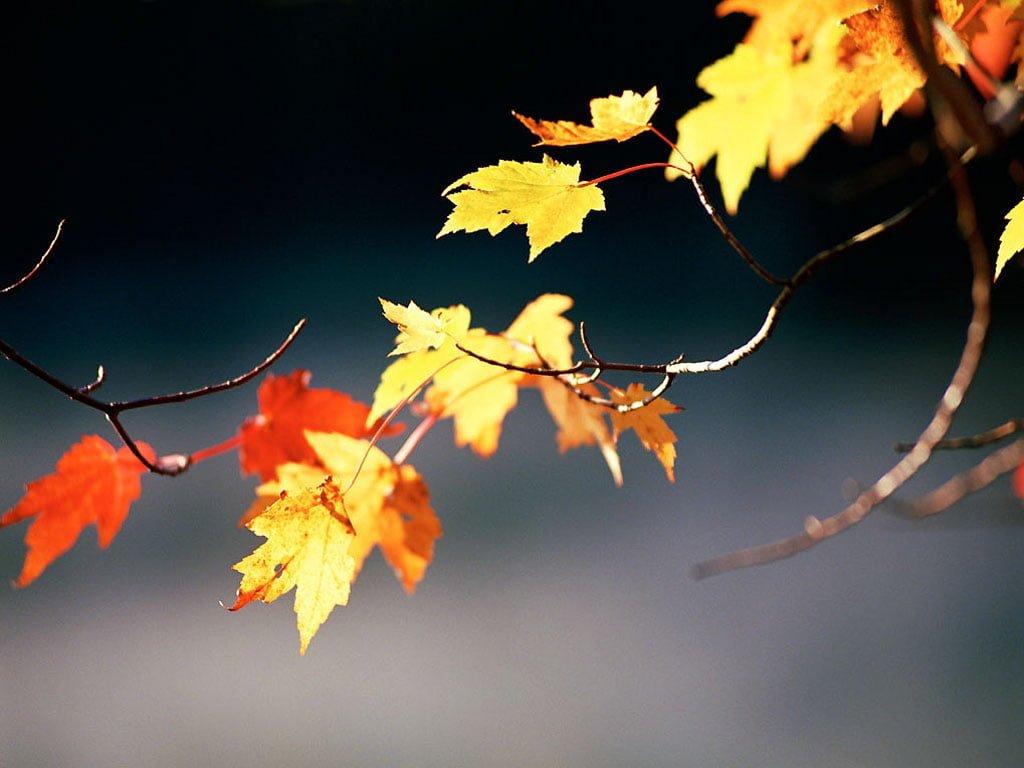 Hazan yaprakları-2
