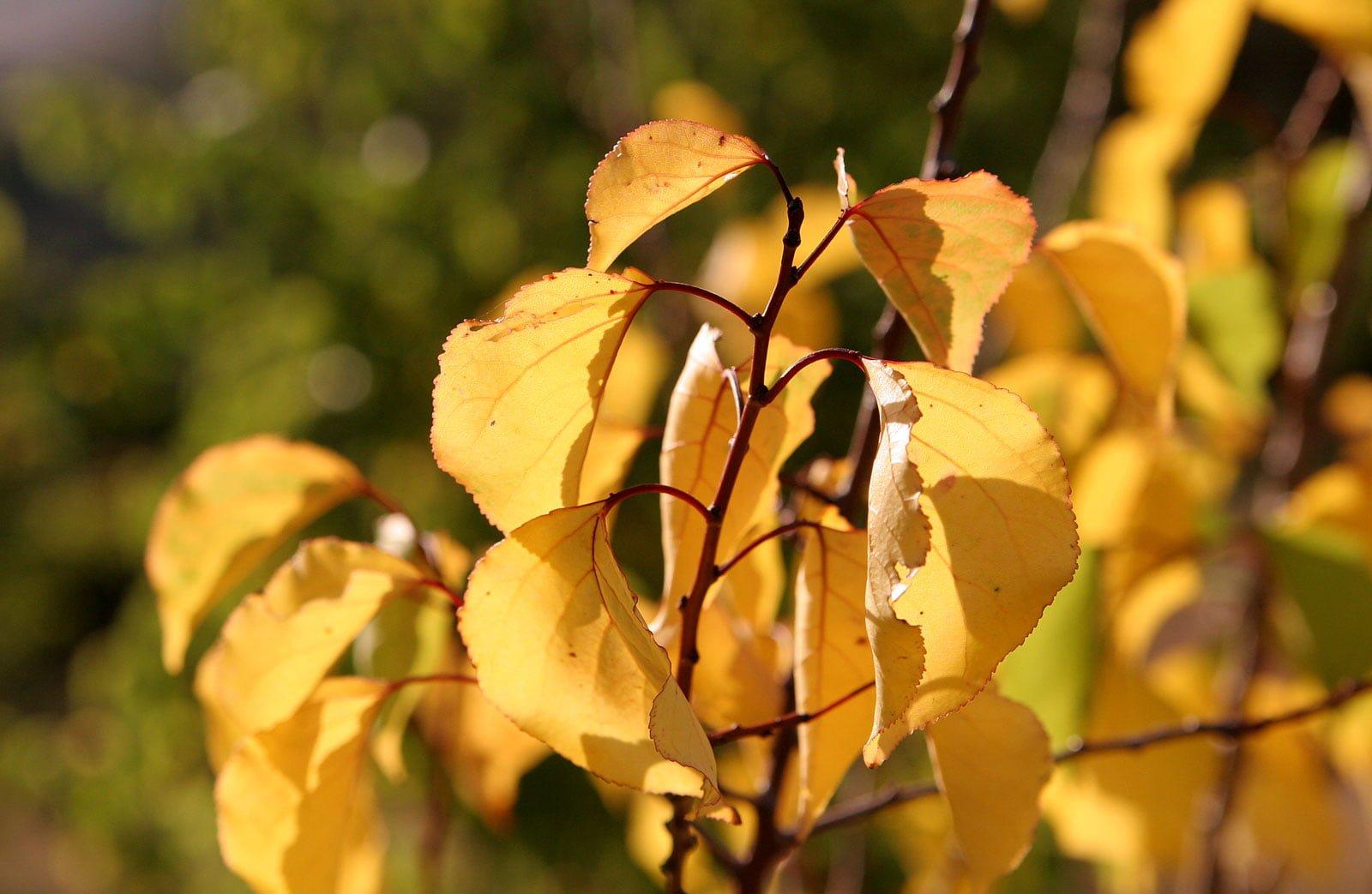 Hazan yaprakları-3