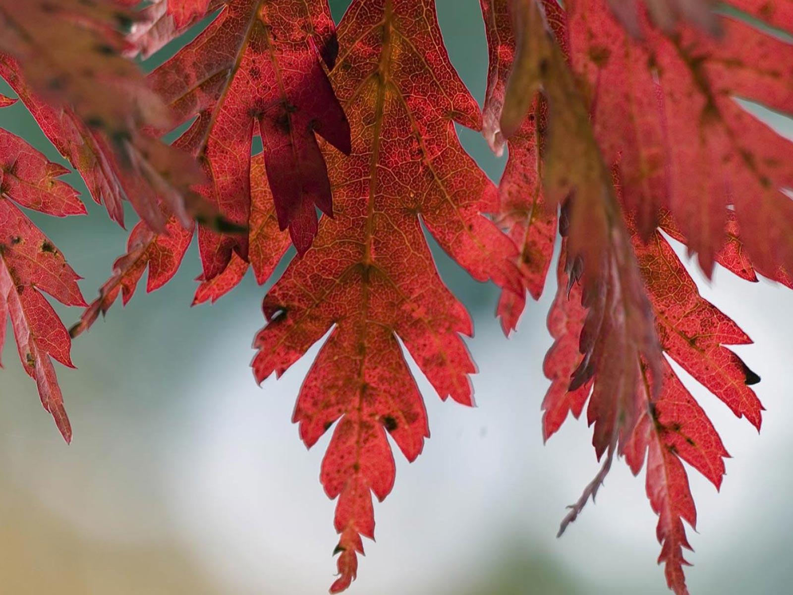 Hazan yaprakları-6