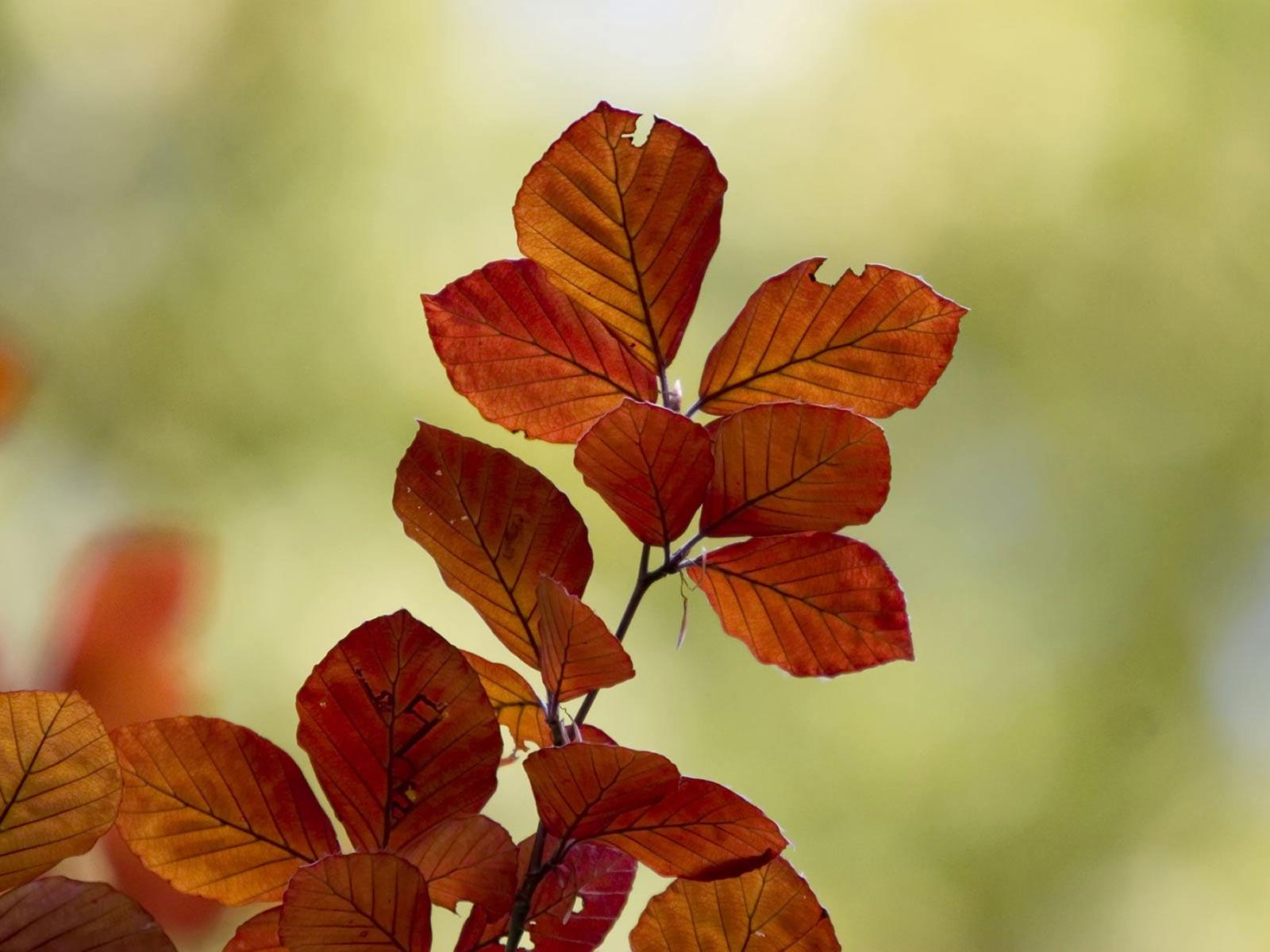 Hazan yaprakları-8