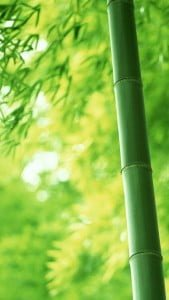iPhone 5 Bambu Duvar Kağıdı 4