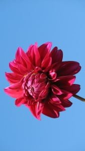 iPhone 5 Çiçek Wallpaper 3