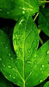 iPhone 5 Yeşil Yaprak Arkaplan 9