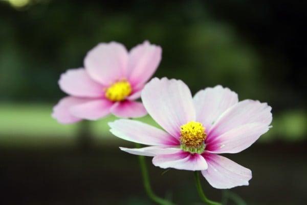 ikili pembe çiçek
