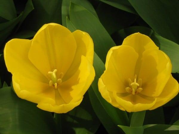 ikili süper sarı çiçek