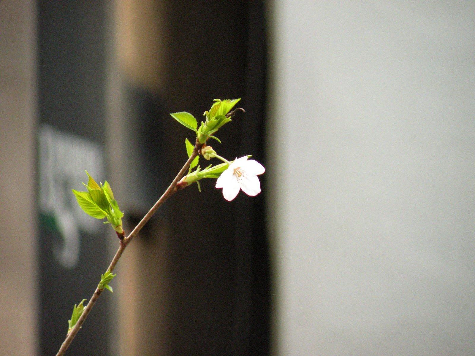 ilk çiçek