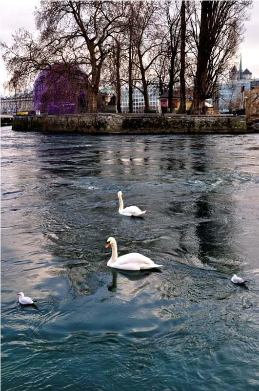 isviçre göl ve ördekler