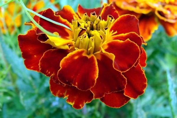 kırmızı çiçekler