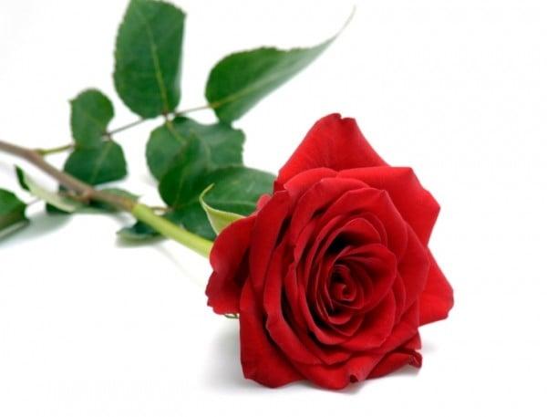 kırmızı güzel güller