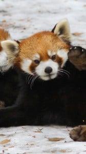 kırmızı panda 1080x1920