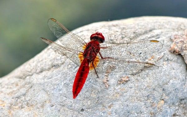 Kırmızı yusufçuk taşta