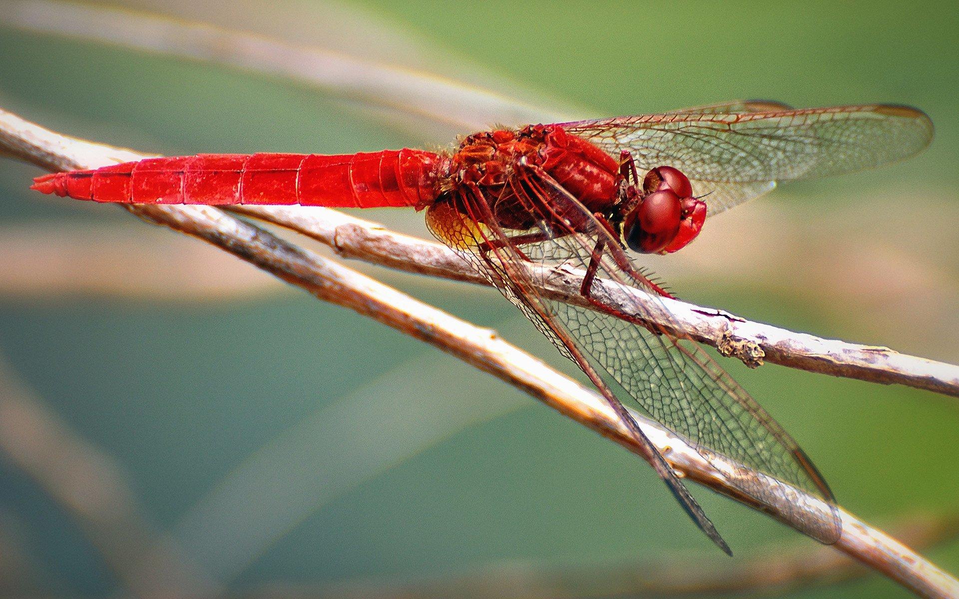 kırmızı yusufçuk
