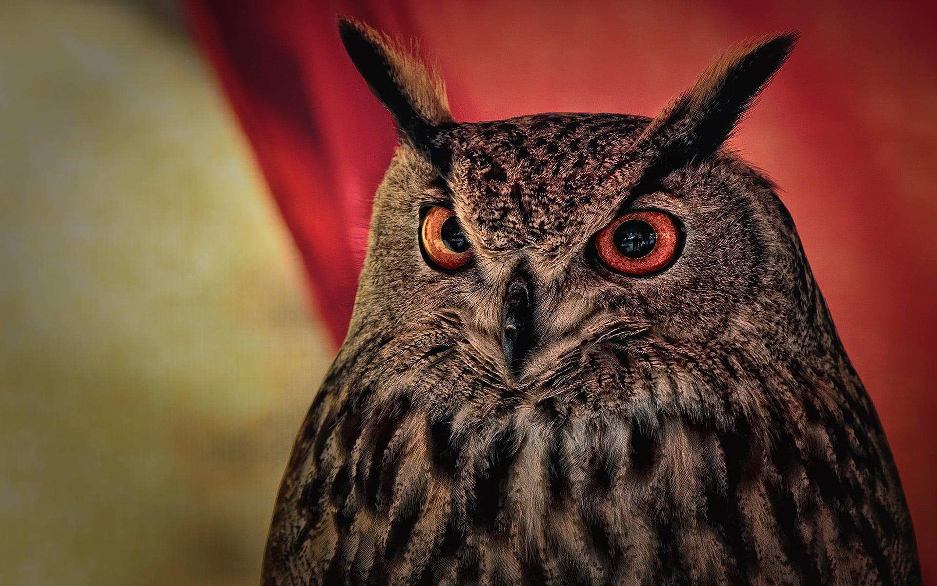 kızıl gözlü baykuş