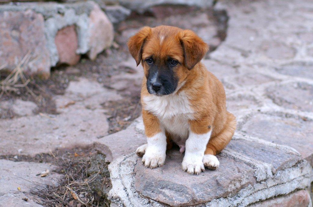 kahverengi yavru köpek