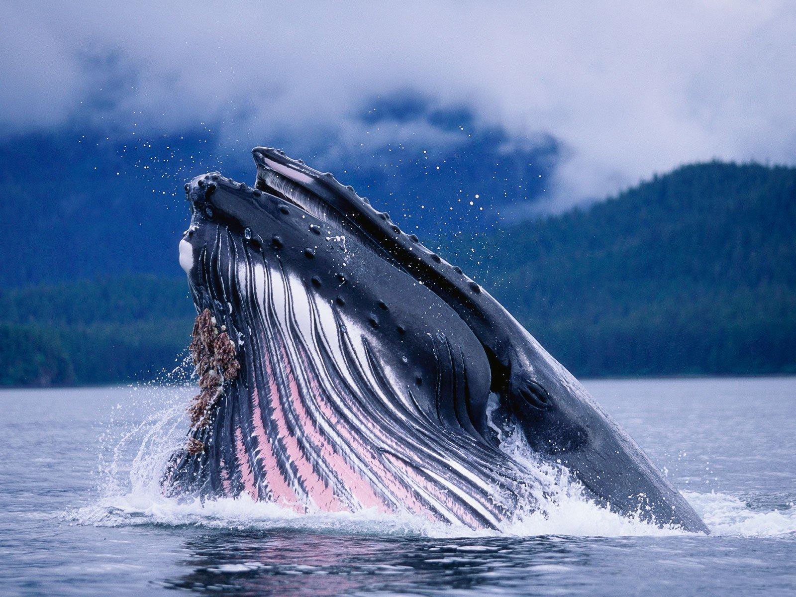 Kambur balina-3
