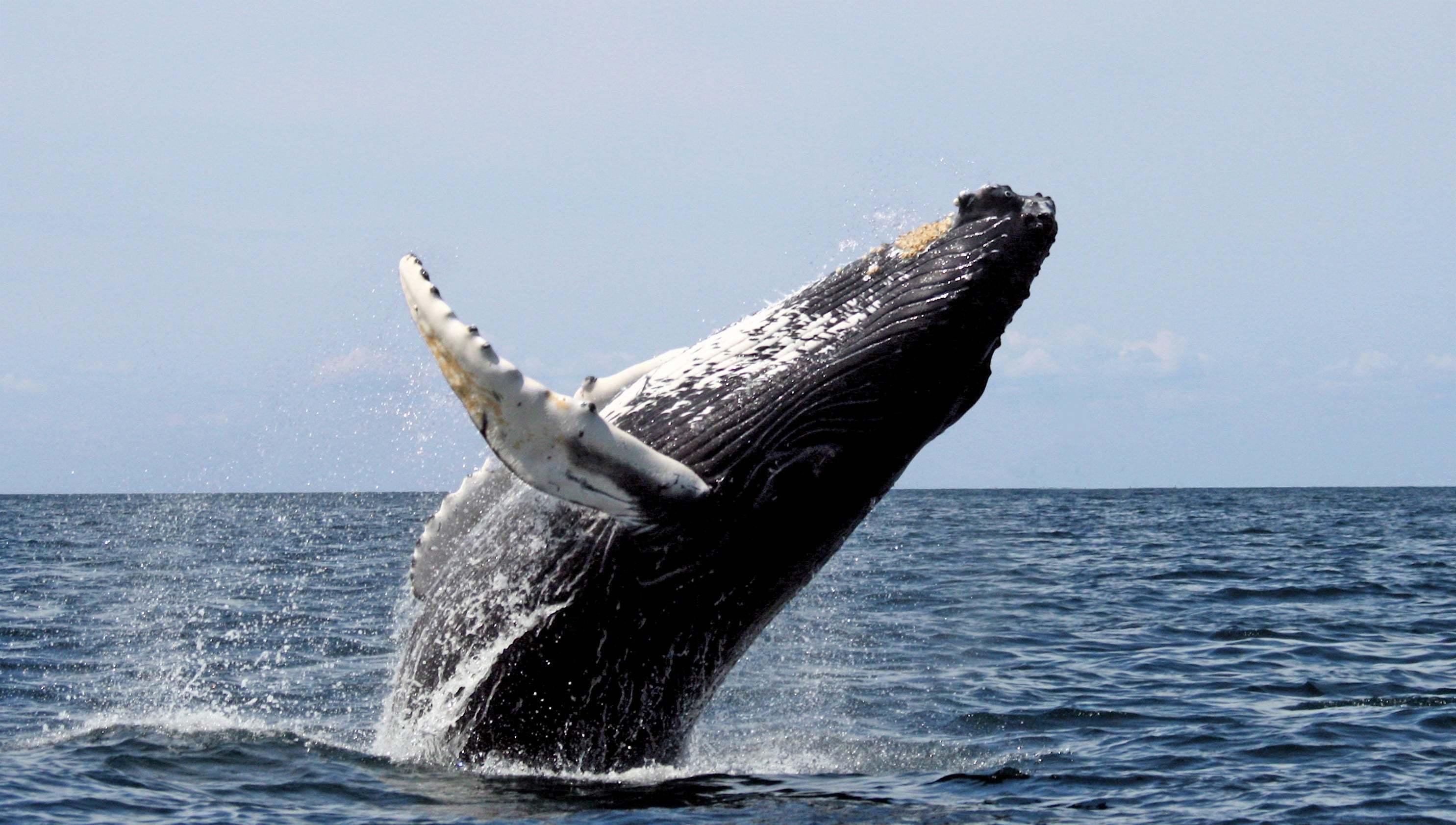 Kambur balina-1