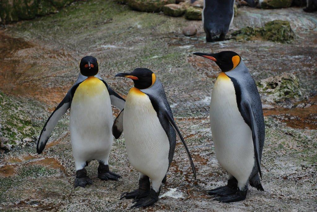 kara penguenleri