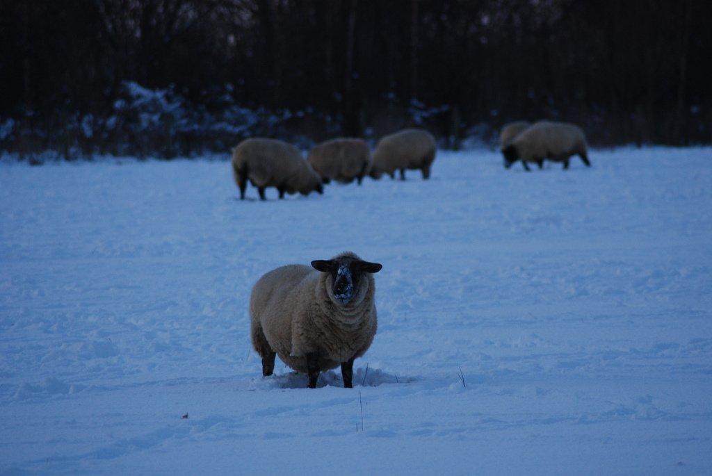 kardaki koyunlar