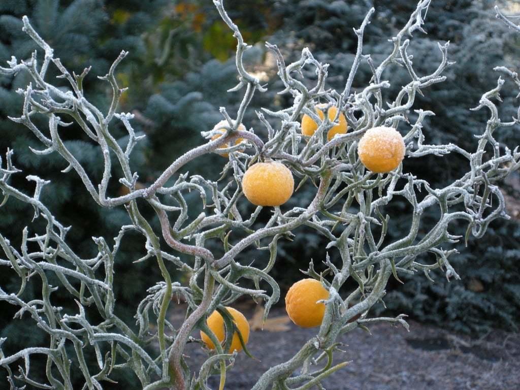 Karlı meyveler-5