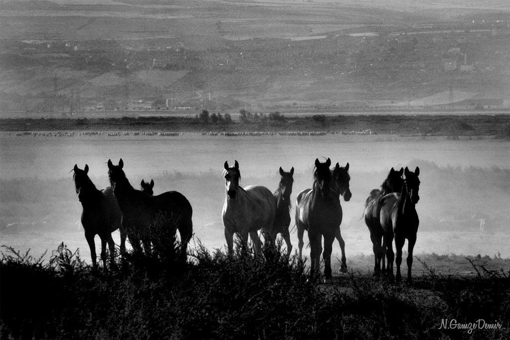 kayseri siyah beyaz atlar