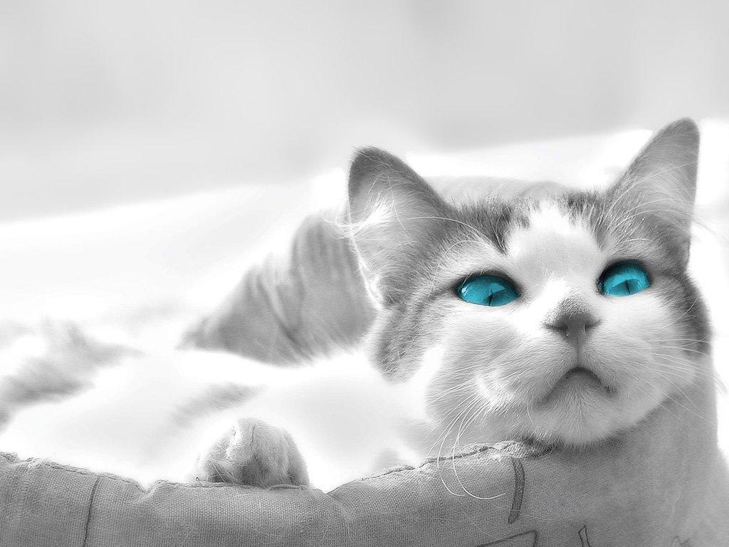 Maviş kedi